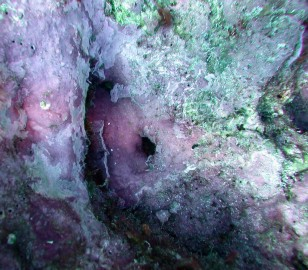 Purple crustose coralline algae