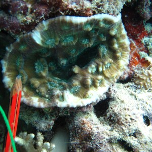Mycedium - Torres Strait Coral Taxonomy Photos