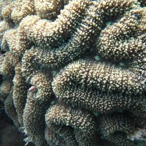 Lobophyllia - Torres Strait Coral Taxonomy Photos