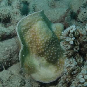Turbinaria - Torres Strait Coral Taxonomy Photos