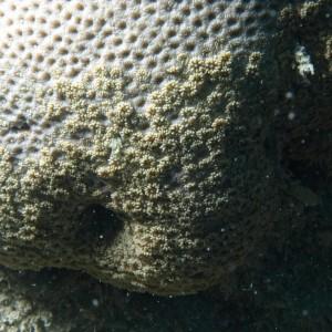 Goniopora - Torres Strait Coral Taxonomy Photos