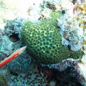 Leptastrea - Torres Strait Coral Taxonomy Photos