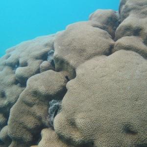 Coscinaraea - Torres Strait Coral Taxonomy Photos