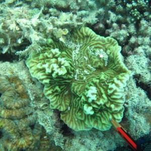 Merulina - Torres Strait Coral Taxonomy Photos