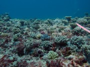 With this many juvenile corals (0-5cm) and teenage corals around, the coral cover at North reef is increasing.